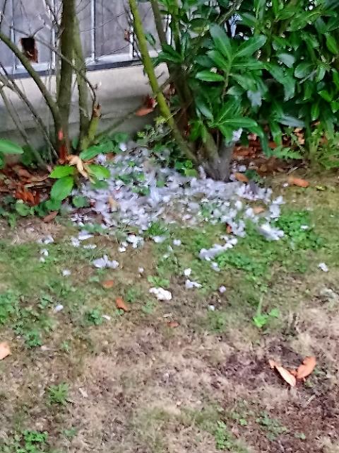 庭に散乱する鳥の羽