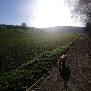 去勢していないゴールデンレトリバーと散歩する